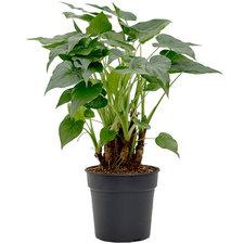Alocasia Cucullata 90 cm Ø30
