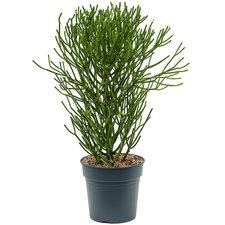 Euphorbia Tirucalli 100 cm Ø27