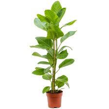 Ficus Yellow Gem 100 cm Ø21