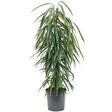 Ficus Alii 100 cm Ø21