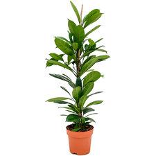 Ficus Cyathistipula 110 cm Ø21