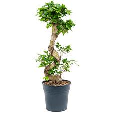 Ficus Microcarpa 80 cm Ø24
