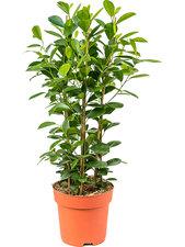 Ficus Moclame 90 cm Ø24