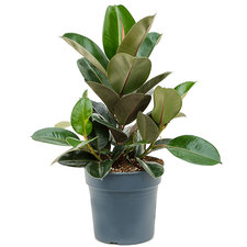 Ficus Elastica Robusta 80 cm Ø27
