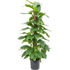 Philodendron Guttifero 120 cm Ø21