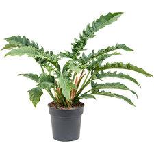 Philodendron Narrow 65 cm Ø27