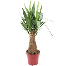 Yucca op stam 70 cm Ø19