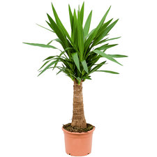 Yucca op stam 100 cm Ø24