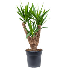 Yucca vertakt 90 cm Ø24