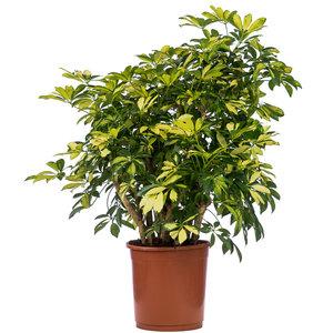 Schefflera Trinette kamerplant