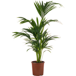 Kentia Howea palm kamerplant