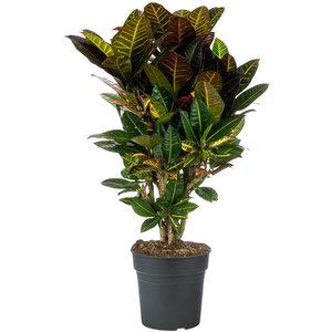 Croton Petra kamerplant