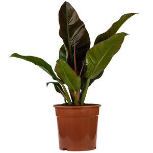 Imerial Red Philodendron