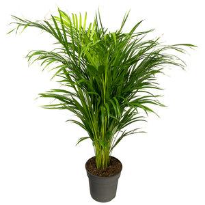 Araca palm - Goudpalm