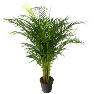 Areca palm - Goudpalm