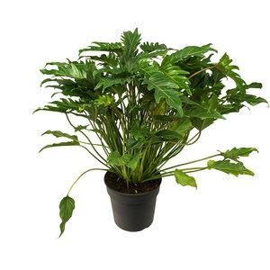 Philodendron Xanadu kopen