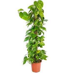 Epipremnum Scindapsus kamerplant