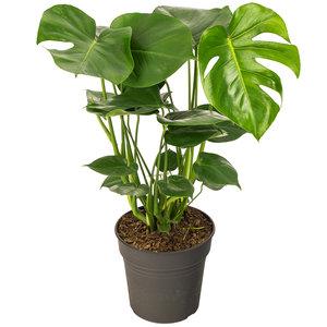 Monstera Gatenplant