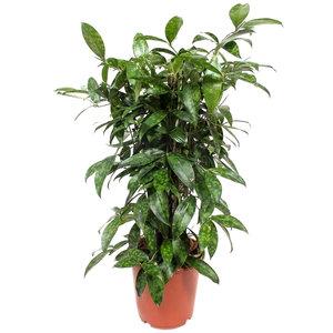 Dracaena Surculosa 70 cm
