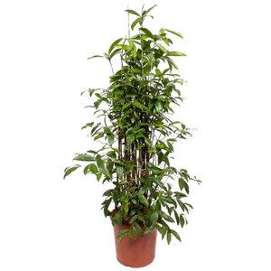 Dracaena Surculosa 120 cm