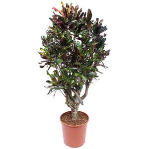 Croton Mammi 130 cm
