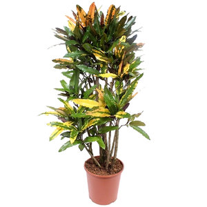 Croton Mango 140 cm