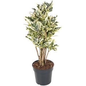 Croton Tamara 100 cm