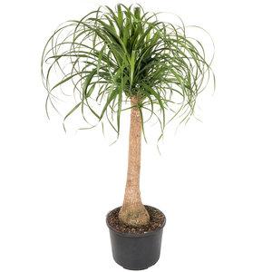 Beaucarnea op stam 120 cm