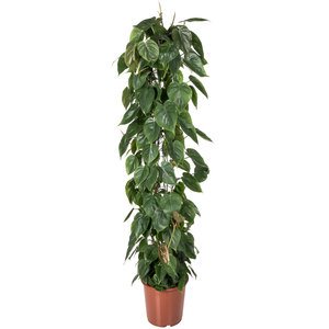 Philodendron Scandens 160 cm