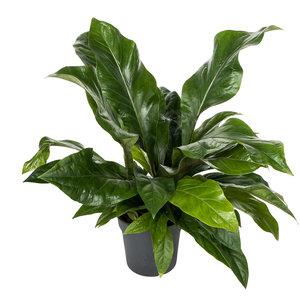 Anthurium Jungle Bush 60 cm
