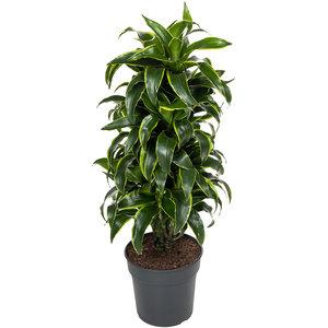 Dorado kamerplant 110 cm
