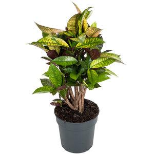 Croton Iceton 60 cm