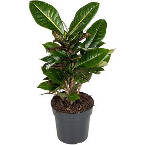 Croton Petra 60 cm
