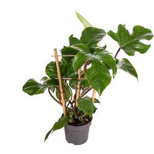 Philodendron Red Wonder rek 55 cm