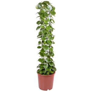 Cissus Rotundifolia 120 cm