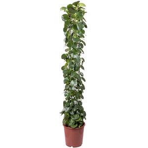 Cissus Rotundifolia 160 cm