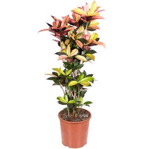 Croton Iceton 130 cm kamerplant