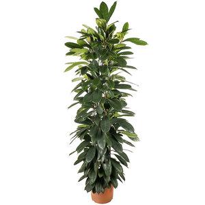 Ficus Cyatistipula 140 cm