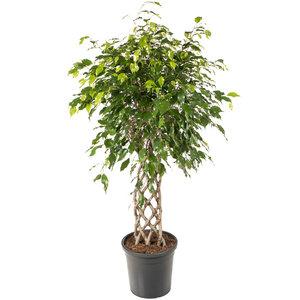 Ficus Exotica 120 cm