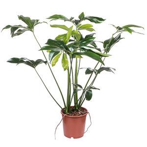 Philodendron Green Wonder (Fun Bun) kamerplant
