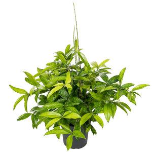 Dracaena Surculosa 60 cm