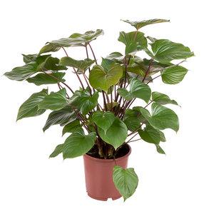 Homalomena Rubescens Maggy Kamerplant