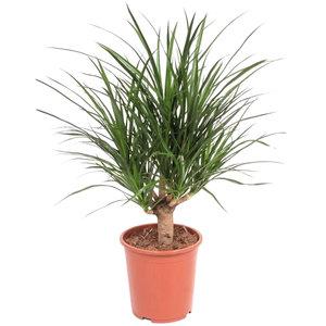 Dracaena Draco 90 cm schaduwplant
