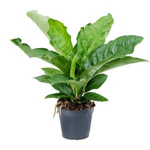 Anthurium elipticum 'Jungle Bush'