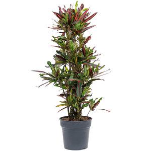 Croton (Codiaeum) variegatum 'Mammi'