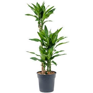 Dracaena fragrans 'Burundii'