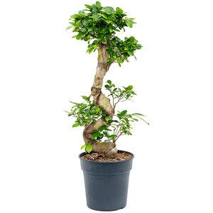 Ficus microcarpa 'Compacta'