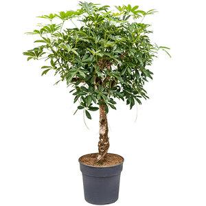 Schefflera arboricola 'Compacta'